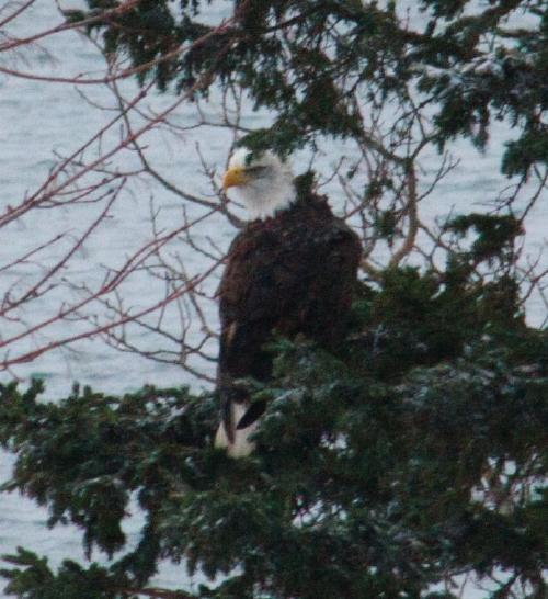 bald eagle -- cms